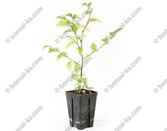 Charme-houblon ostrya carpinifolia jeune plant 2 ans