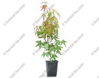 Érable du Japon acer palmatum jeune plant 1 an