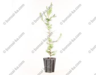 Pin blanc de Provence pinus halepensis jeune plant de 2 ans