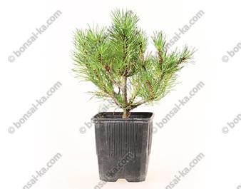 Pin de montagne pinus mugo pumilio swiss jeune plant de 2 ans