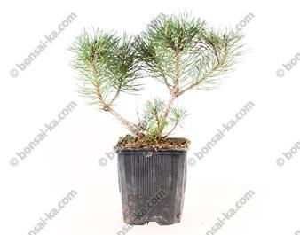 Pin de montagne pinus mugo mughus jeune plant de 2 ans