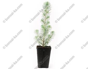 Pin parasol pinus pinea jeune plant de 1 an
