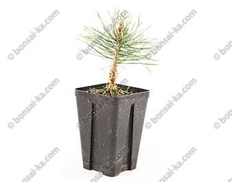 Pin sylvestre pinus sylvestris jeune plant de 1 an