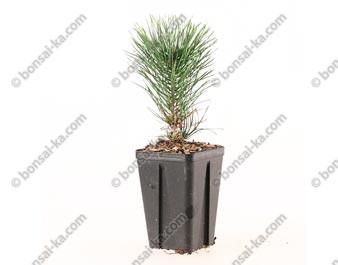 Pin à crochets pinus subsp. unicinata jeune plant de 1 an