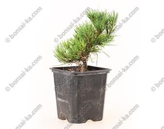 Pin de montagne pinus mugo pumilio swiss jeune plant de 1 an