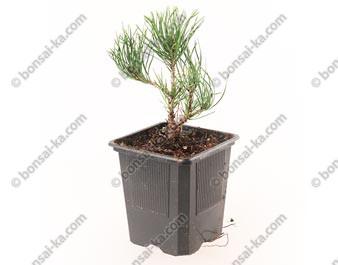 Pin de montagne pinus mugo pumilio jeune plant de 1 an