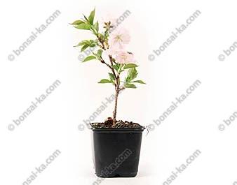 Cerisier du Japon prunus serrulata accolade jeune plant 2 ans