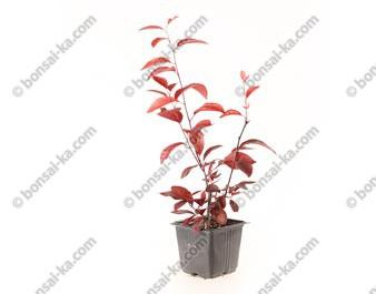 Prunier Myrobolan prunus cerasifera pissardii jeune plant de 2 ans