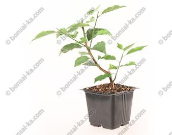 Abricotier du Japon Prunus Mume Beni-Chidori jeune plant 2 ans