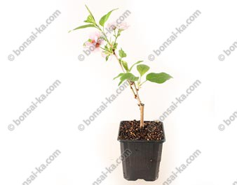 Cerisier du Japon Prunus Serrulata Taihaku jeune plant 1 an