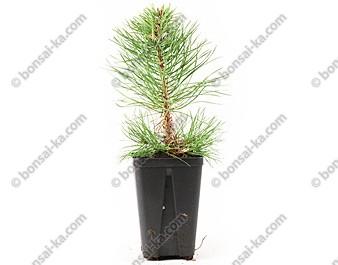 Pin sylvestre pinus sylvestris jeune plant de 2 ans