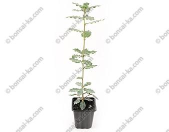 Chêne-liège quercus suber jeune plant 2 ans