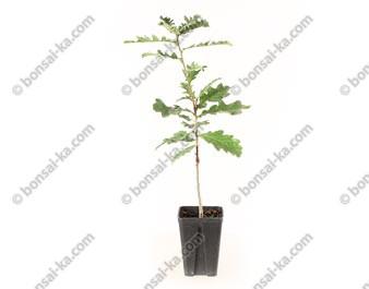 Chêne du Japon quercus acutissima jeune plant 2 ans