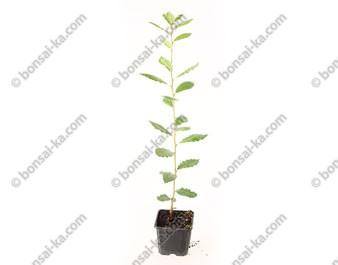 Chêne vert quercus ilex jeune plant 1 an