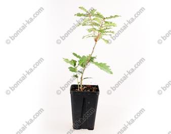 Chêne blanc quercus pubescens jeune plant 2 ans
