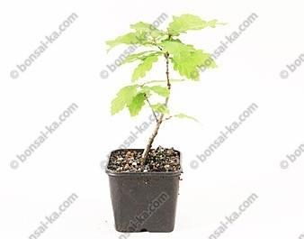 Chêne pédonculé quercus robur jeune plant 2 ans