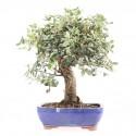 Chêne-liège quercus suber bonsai 37 cm ref.15134
