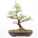 Mélèze du Japon larix kaempferi bonsaï 50 cm ref.15216