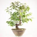 Prunus Mume En-Ou abricotier du Japon bonsaï 50 cm ref.16011
