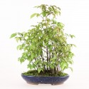 Charme à feuilles rouges carpinus laxiflora shohin bonsaï yose-ue 35 cm import Japon 2016 ref.16018
