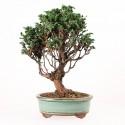 Faux-cyprès du Japon Hinoki chamaecyparis obtusa bonsaï 33 cm ref.16029