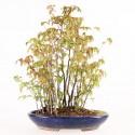 Charme à feuilles rouges carpinus laxiflora shohin bonsaï yose-ue 33 cm import Japon 2016 ref.16064