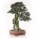 Olivier sauvage bonsaï spécimen olea europaea sylvestris yamadori 60 cm ref.16076