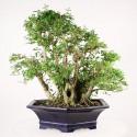 Troène de Chine multitroncs import Indonésie bonsaï 50 cm ref.17050