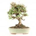 Viorne viburnum dilatatum shohin bonsaï 18 cm import Japon 2017 ref.17060