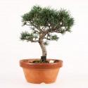 Pin blanc du Japon pinus parviflora prébonsaï  20 cm ref.17070