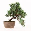 Juniperus rigida bonsai shohin 20 cm import Japon 2015 ref.17075
