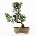 Juniperus rigida bonsai shohin 23 cm import Japon 2015 ref.17077