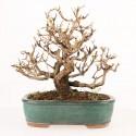Grenadier punica granatum nejikan shohin bonsaï import Japon 2017 20 cm ref.17082