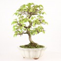 Charme du Japon carpinus laxiflora bonsaï 33 cm import Japon 2015 ref.17083