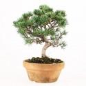 Pin blanc du Japon pinus parviflora bonsaï 24 cm ref.17084