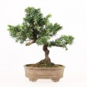 Juniperus rigida bonsai shohin 22 cm import Japon 2015 ref.17088