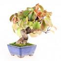 Viorne viburnum dilatatum shohin bonsaï 26 cm import Japon 2017 ref.17129