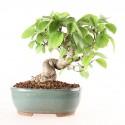 Viorne viburnum sp. shohin bonsaï 26 cm import Japon 2017 ref.17129