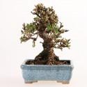 Viorne viburnum dilatatum shohin bonsaï 19 cm import Japon 2017 ref.17142