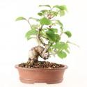 Viorne viburnum dilatatum shohin bonsaï 20 cm import Japon ref.17146
