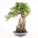 Azalée satsuki Kozan neagari bonsaï import 2017 ref.17206