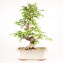 Charme de Corée carpinus coreana bonsaï 43 cm import Corée 2017 ref.17324