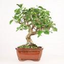 Murier noir morus nigra bonsaï 10 ans 32 cm ref.17331