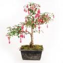 Fuchsia prébonsaï 36 cm ref.17342