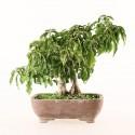 Bougainvillée bougainvillea glabra 29 cm