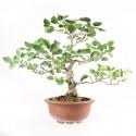 Aulne glutineux alnus glutinosa bonsaï 45 cm ref.17366