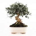 Olivier sauvage bonsaï olea europaea sylvestris 29 cm ref.17422