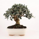 Olivier sauvage bonsaï olea europaea sylvestris 28 cm ref.17424