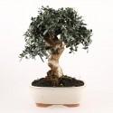 Olivier sauvage bonsaï olea europaea sylvestris 32 cm ref.17425