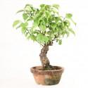 Prunus Mume abricotier du Japon prébonsaï 34 cm ref.18003